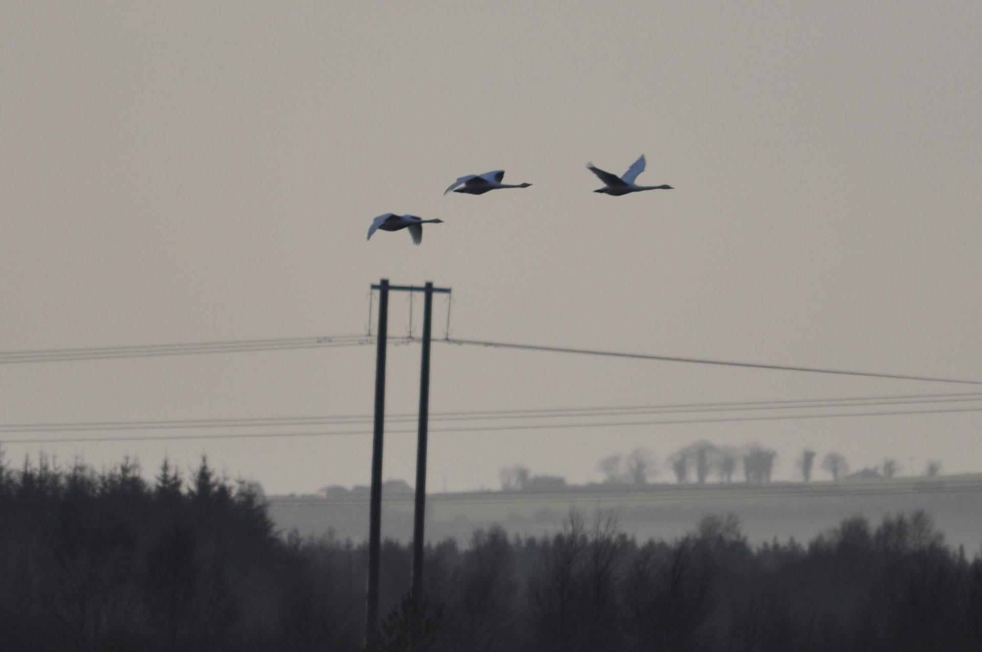 Impact of birds on power lines 62
